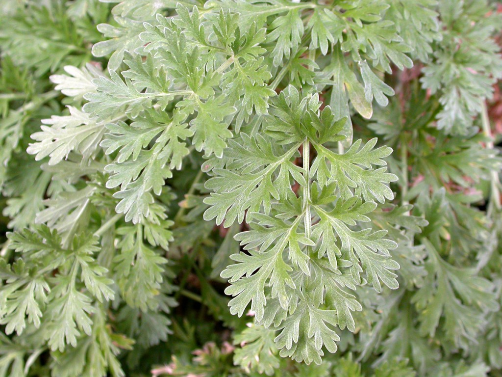 The main ingredient in Pelin, a flavoured Bulgarian wine style, is wormwood